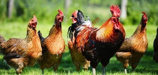 افكار مشاريع منزلية مشروع تربية الدجاج في المنزل